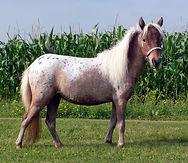 Landry_FarmLandry Farm Little Queen, jument appaloosa miniature du Loosa-Ranchs_Little_Queen-04-512.jpg