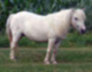 Chinooks Lil Scamp une pouliche Miniature Appaloosa vendue par le Loosa-Ranch