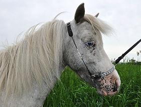 Healing Springs Star BlazerBlazer, une jument miniature Appaloosa du Loosa-Ranch