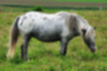 DKA My Shadow, jument miniature Appaloosa du Loosa Ranch
