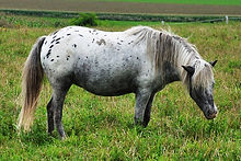 DKA My Shadow, jument miniature Appaloosa du Loosa Ranch
