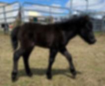 Loosa-Ranch Rioux, poulain miniature noir à vendre par le Loosa-Ranch
