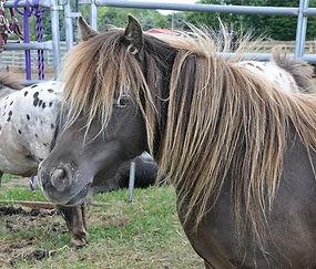 Miss Dawn Image Jimmy, jument miniature Appaloosa du Loosa-Ranch