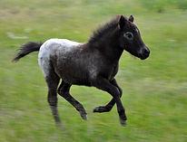 Loosa-Ranch Sally, pouliche appaloosa miniature née au Loosa-Ranch