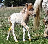Loosa-Ranch Lil Oasis poulain Miniature né au Loosa-Ranch en 2015