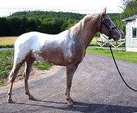 Daisy Bluff Roby, jument Appalosa vendue par le Loosa Ranch