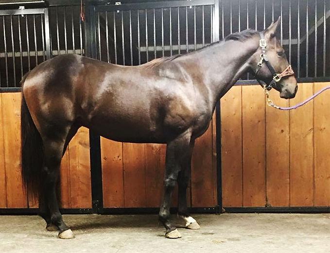 Bodacious Royalty, un cheval Quarter Horse au Loosa-Ranch