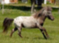 Un étalon Miniature Appaloosa vendu par  le Loosa-Ranch