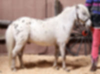 Macviews Lil Ruby, un étalon miniature Appaloosa vendu par  le Loosa-Ranch