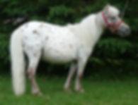 Cornerstore Peaches'N'Cream, une jument miniature Appaloosa du Loosa-Ranch