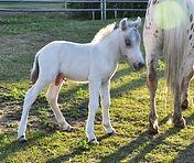 Loosa-Ranch Atchoum poulain appaloosa miniature né au Loosa-Ranch