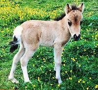 Magnifique Bambie, jument miniature du Loosa-Ranch