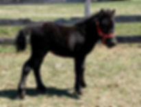 Loosa-Ranch Doris, jument miniature Appaloosa à vendre par le Loosa Ranch