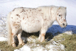 Cornerstore Peaches'N'Cream, une jument miniature Appaloosa du Loosa-Ranch