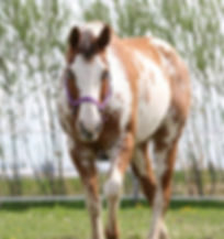 Marilyne Doll, une jument Paint du Loosa-Ranch