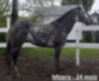Wap Blast Misery, une pouliche Appaloosa vendue par le Loosa-Ranch