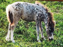 Magnifique Bambie, jument miniature appaloosa du Loosa-Ranch