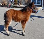 Loosa-Ranch Turbo, poulain miniature Appalosa vendu par le Loosa Ranch
