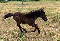 Loosa-Ranch Onyx, poulain appaloosa miniature né au Loosa-Ranch