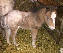Loosa-Ranch Amandine AMHR 338963 pouliche appaloosa miniature née au Loosa-Ranch en 2018