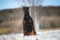 Jay-Z femelle doberman Pinscher du Loosa Ranch