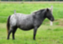 Iles Northern Lites , une jument miniature Appaloosa du Loosa-Ranch