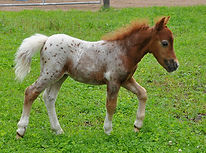 SPH Rockstars Strawberry Shortcake, pouliche appaloosa miniature née au Loosa-Ranch en 2017