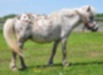 Lil Bit Lots A Dots Dottie, une jument miniature Appaloosa du Loosa-Ranch