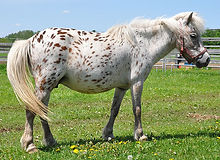 Lil Bit Lots A Dots Dottie, jument miniature Appaloosa vendue par le Loosa Ranch