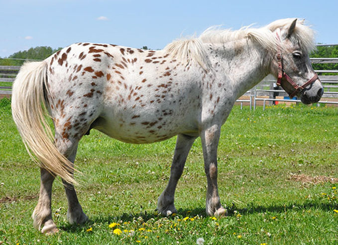 Lil Bit Lots A Dots Dottie, une jument miniature Appaloosa du Loosa-Ranch