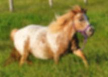 Sandra Lees Tuffys Apache Tears, jument Miniature Appaloosa du Loosa-Ranch