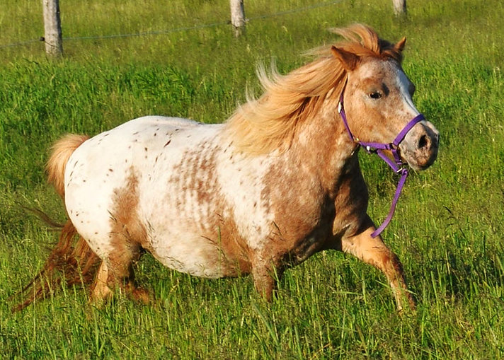 Sandra Lees Tuffys Apache Tears, jument Miniature Appaloosa du Loosa-Ranch