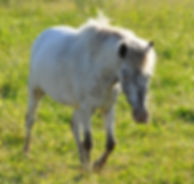 FTP'S Frozen, jument Miniature Appaloosa du Loosa-Ranch