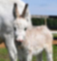 Roméo, un anon avec croix de St-André né au Loosa^-Ranch