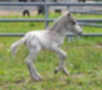 Loosa-Ranch Bogoss, un poulain Appaloosa Miniature àvendre au Loosa-Ranch