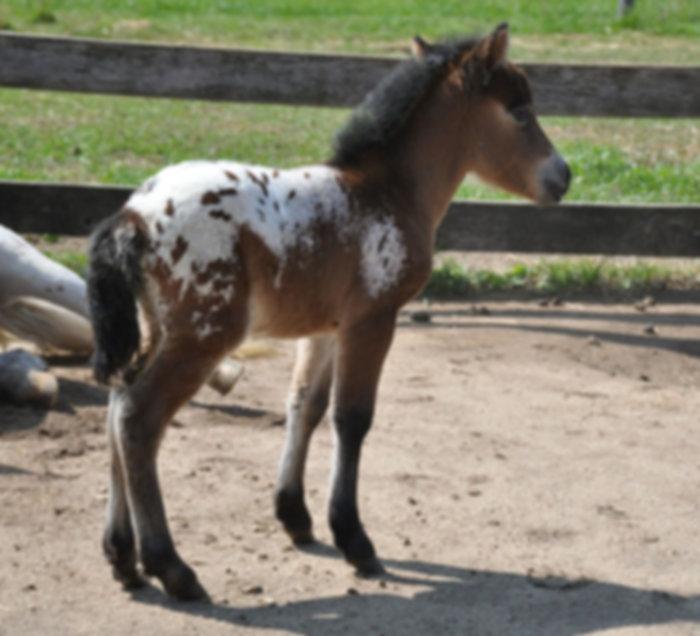 Miss Jetta Jimmy, jument Miniature Appaloosa du Loosa-Ranch