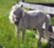 Loosa-Ranch Mcfee, poulain miniature vendu par le Loosa-Ranch