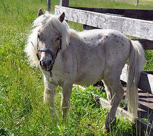 Loosa-Ranch Mcfee, poulain miniature vendu par le Loosa-Ranch