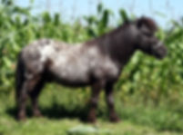 Ives Got Spots un étalon Miniature Appaloosa vendu par  le Loosa-Ranch