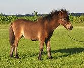 Loosa-Ranch Xéna, pouliche miniature Appalosa vendue par le Loosa Ranch