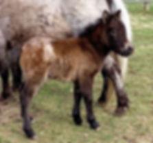 Loosa-Ranch Arrielle pouliche appaloosa miniature née au Loosa-Ranch en 2019