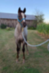 Quick Run Dolly, une jument appaloosa du Loosa-Ranch
