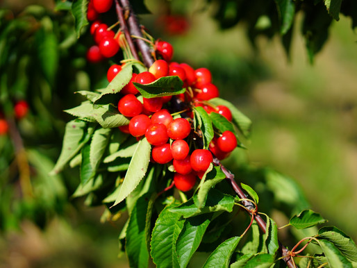 Tart Cherry Juice Helps Athletes Recover AND Sleep Better