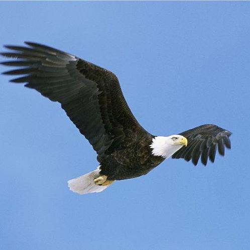 Eagle Sponsor