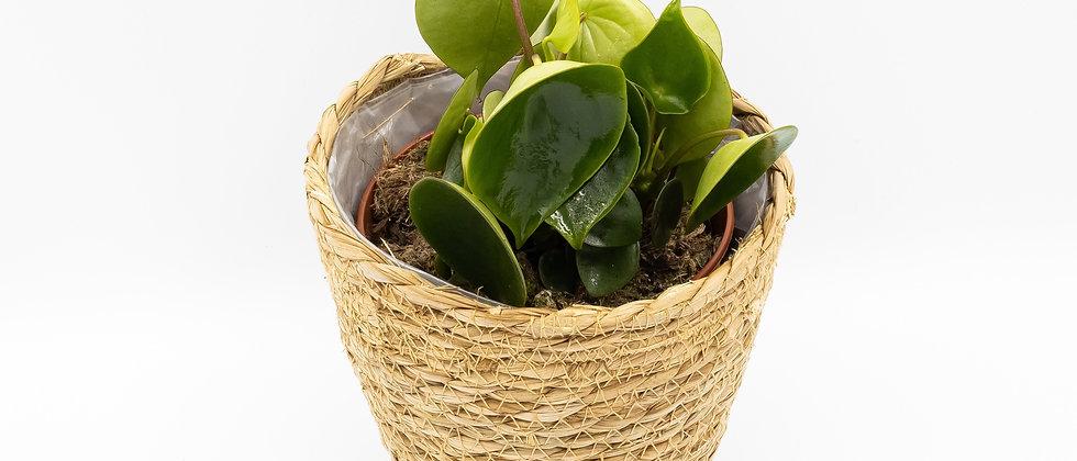 Money Plant (peperomioides)