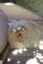 Odessa fertile eggs 8-23.jpg