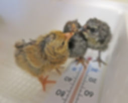 chicks in incubator best.jpg