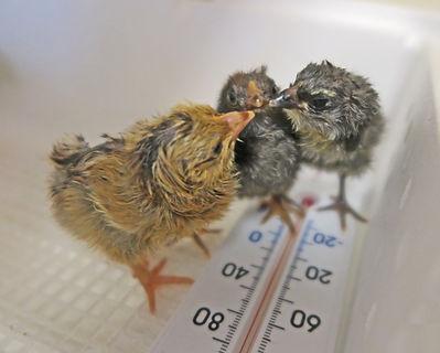 chicks in incubator best.jpg