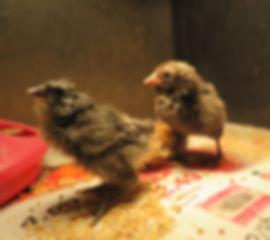 chicks in tub.jpg