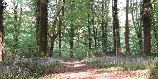 wood bluebells.jpg
